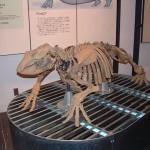 アショロアは1976年に世界で初めて足寄町で発見された束柱類最古(2800万年前)の動物です。