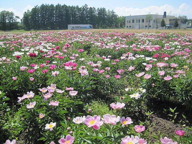 シャクヤクの花畑 更別村ふるさと館圃場