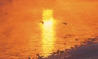 朝日の中の白鳥