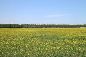菜種の花畑 コタニアグリ